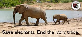 elephants ivory trade china africa extinction animal rights wildlife